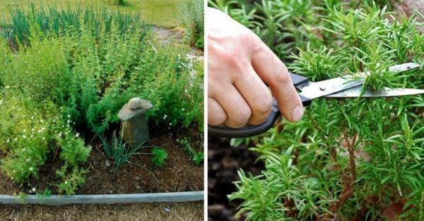 Травы для дачи: как вырастить лечебный огород
